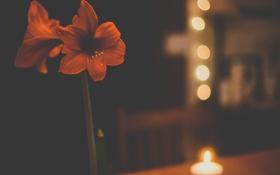 Картинка цветок, красный, лепестки, боке