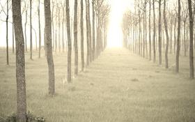 Обои деревья, утро, туман