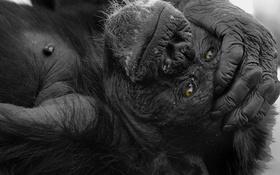 Обои лапа, рука, обезьяна, горилла, обезьянка