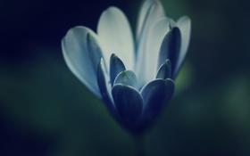 Картинка цветок, синий, голубой, лепестки