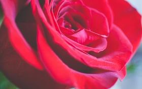 Картинка цветок, роза, лепестки, красная, алая