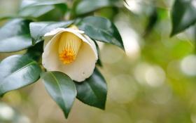 Обои цветок, листья, ветка, flower, leaves, branch, white Camellia