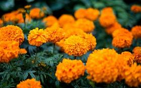Картинка цветы, оранжевые, бутоны, цветение