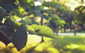 Обои лето, листья, зеленые