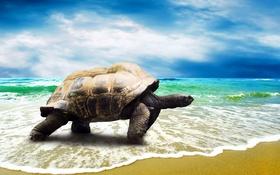 Обои песок, море, пляж, берег, черепаха