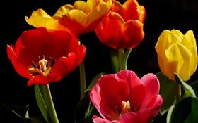 Обои природа, тюльпаны, лепестки