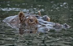 Обои природа, бегемот, вода