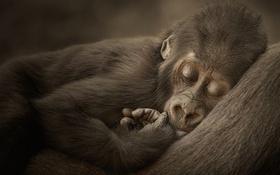 Картинка обезьяна, горилла, детеныш, обезьянка, горилка