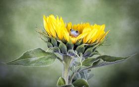 Обои цветок, лягушка, подсолнух