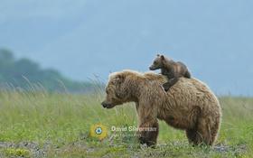 Картинка медведи, двое, спиногрыз
