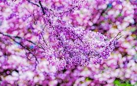 Обои Virginia, цветение, сад, природа, цветы