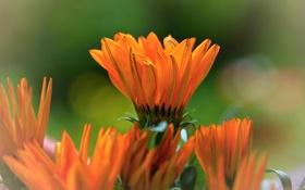 Обои цветы, оранжевая, яркая, календула