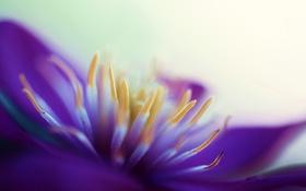 Обои цветок, лето, макро, слиматис