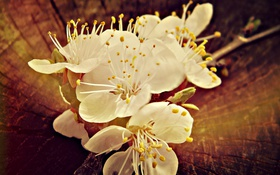 Обои цветок, весна, пенек, абрикос