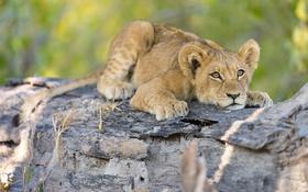 Картинка природа, дерево, животное, хищник, лев, детёныш, львёнок