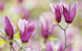 Обои цветы, дерево, лепестки, магнолия