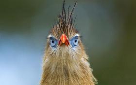 Обои netherlands, клюв, птица, red-legged seriema, apeldoorn, цвет