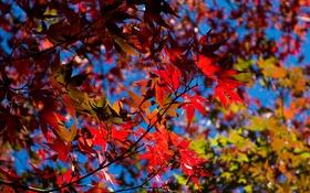 Обои багрянец, клен, ветки, листья, небо, осень