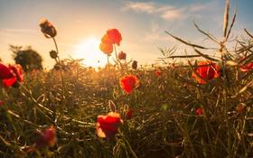 Обои красный, бутон, поле, мак, цветок