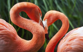 Обои фламинго, зелень, птицы