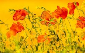 Картинка цветы, фон, маки