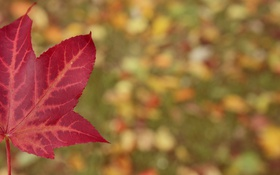 Картинка красный, лист, клен