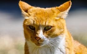 Обои кот, глаза, рыжий, взгляд