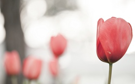 Картинка природа, фон, тюльпан