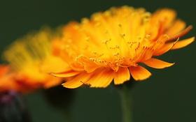 Обои цветок, жёлтый, лепестки, размытость, тычинки