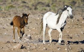 Картинка малыш, лошади, семья, бег, пара, мама, жеребенок