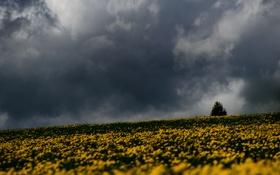 Обои storm, trees, field, flowers, gray clouds, rainy