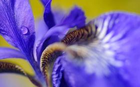 Обои ирис, капля, лепестки, цветок, роса