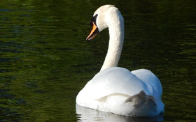 Обои белый, грация, лебедь