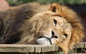 Обои кошка, морда, лев, грива