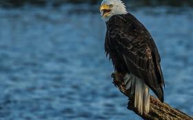Картинка вода, птица, хищник, ястреб, Белоголовый орлан