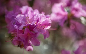 Обои цветы, розовые, рододендрон, азалия