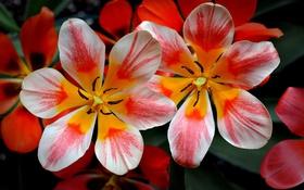 Обои яркие, тюльпаны, обои на рабочий стол, цветы
