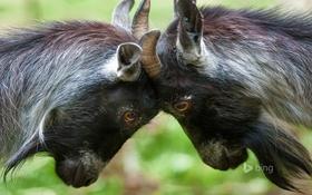 Обои карликовая коза, игра, рога