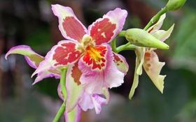 Обои цветок, макро, цветы, flower, flowers, macro, Lovely orchid