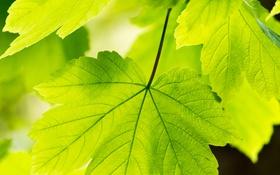 Обои лето, природа, листья