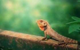 Обои Nature, animal, Garden Lizard