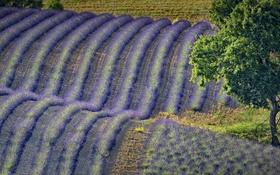 Картинка поле, цветы, холмы, Франция, лаванда, Прованс-Альпы-Лазурный берег, Валансоль