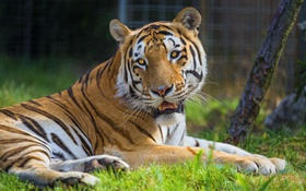 Картинка трава, тигр, отдых, сибирский, хищная кошка