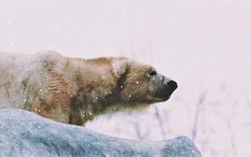 Обои зима, снег, медведь, охота