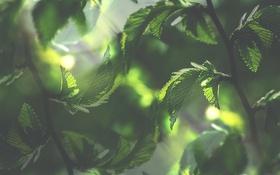 Обои листья, ветки, зеленые