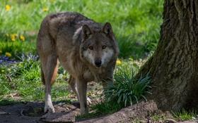 Картинка морда, дерево, волк, хищник