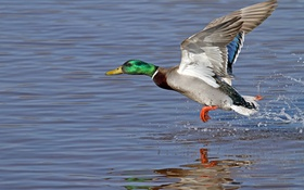 Обои feathery, colors, fowl, duck, water