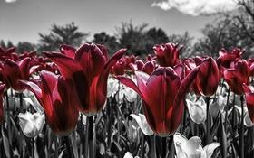 Картинка небо, природа, лепестки, луг, тюльпаны