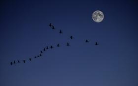 Обои небо, луна, утки