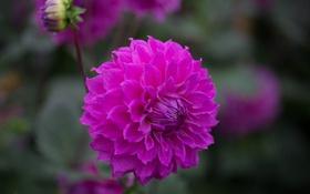 Обои цветок, ветка, бутон, алый, цветение, георгин